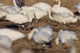 Fjällgås / Lesser White-fronted Goose