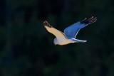 Blå Kärrhök / Hen Harrier