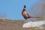 Fasantupp / Pheasant / Male