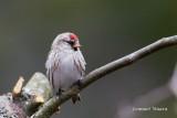 Gråsiska / Common Redpoll