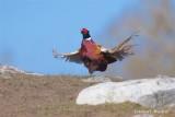 Fasan / Pheasant / male