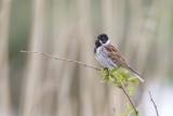 Sävsparv / Common Reed Bunting