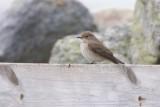 Grå flugsnappare / Spotted Flycatcher