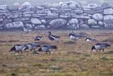 Rödhalsad gås / Red-breasted Goose