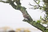 Svartvit flugsnappare / European Pied Flycatcher