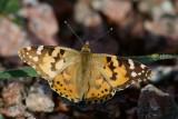 Fjärilar och trollsländor / Butterflies and dragonflies