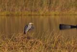 Gråhäger / Grey Heron