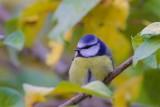 Blåmes / Blue Tit