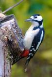 Större hackspett / Great Spotted Woodpecker