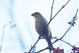 Tallbit / Pine Grosbeak