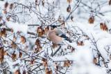 Domherre / Eurasian Bullfinch