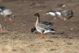 Tundrasädgås / Bean Goose Rossicus