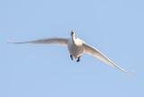 Sångsvan / Whooper Swan
