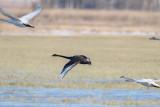 Svart svan / Black Swan