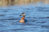 Gråhakedopping / Red-necked Grebe