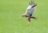 Brun kärrhök / Western Marsh Harrier