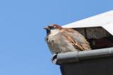Gråsparv / House Sparrow