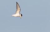 Småtärna / Little Tern