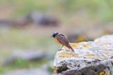 Rödstjärt / Common Redstart