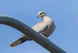 Turkduva / Eurasian Collared Dove