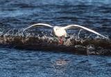 Skrattmås / Black-headed Gull