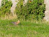 Härfågel / Eurasian Hoopoe