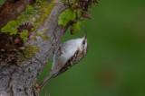 Träkrypare / Eurasian Treecreeper