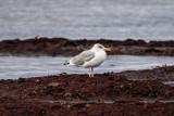 Gråtrut / Herring Gull