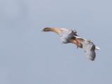 Spetsbergsgås / Pink-footed Goose