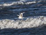 Dvärgmås / Little Gull