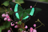 Green banded swallowtail butterfly - Papilio palinurus