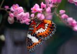 Malayan Lacewing  (Cethosia hypsea)