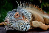 Up Close and Personal with the Green Iguana