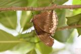 Hypolimnas bolina jacintha (Jacintha Eggfly)