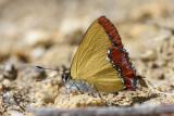 Heliophorus ila malaya