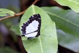 Stiboges nymphidia nymphidia (Columbine)
