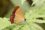 Heliophorus ila malaya (female)