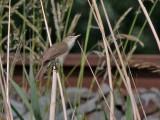Struikrietzanger - Blyth's Reed Warbler