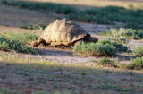 Leopard Tortoise (Stigmochelys pardalis); extraordinary size. Please see report.