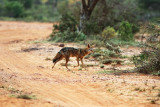 African Golden Wolf/Golden Jackal (Canis anthus/Canis aureus) Please see report.