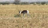 Sommerings Gazelle (Gazella sommeringi).