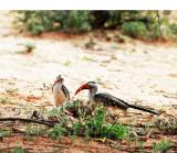 Northern Red-billed Hornbill (Tockus erythrorhynchus).