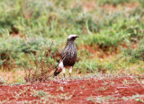 White-crowned Starling (Lamprotornis albicapillus).