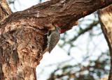 Nubian Woodpecker ((Campethera nubica).