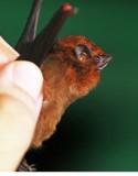 Comura brevirostris (Chestnut Sacwinged Bat) (2404)