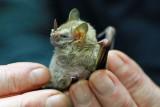 Platurhinus brevicephalus (Shortheaded Broadnosed Bat)  (2570)