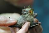 Platurhinus brevicephalus (Shortheaded Broadnosed Bat)  (2560)