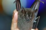 Antibeus obscurus (Dark Fruit-eating Bat)  (2603)