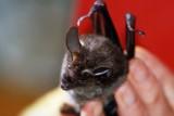 Tonatia bidens (Greater Round-eared Bat) (2609)