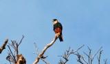 _Bat Falcon (Falco rufigularis)